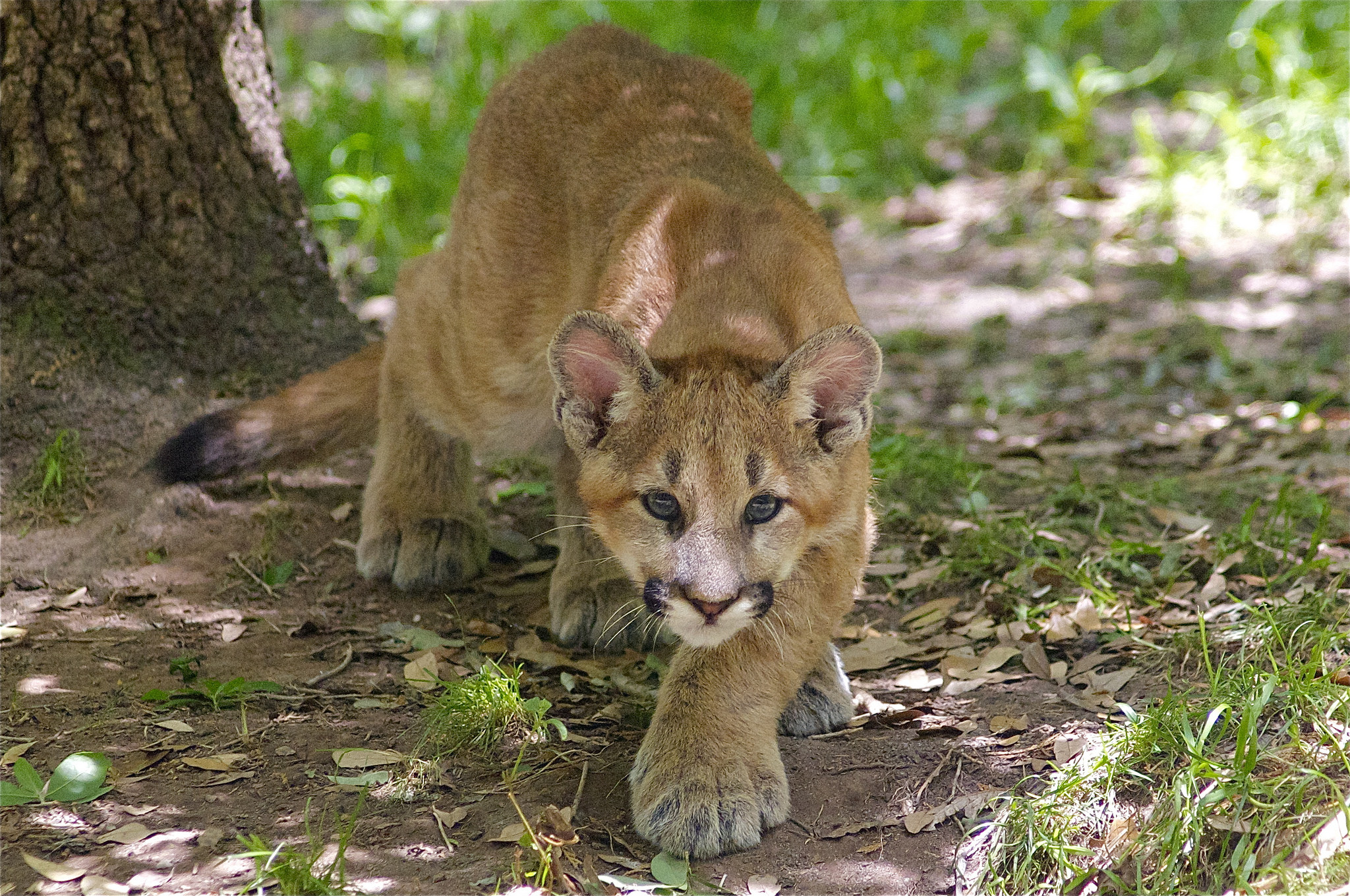 You Probably Didn't See A Mountain Lion in the Suburbs ... - photo#34