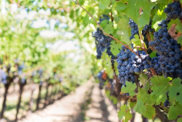 Texas Wineries Worry New Herbicide Will Destroy Their Grape Crop