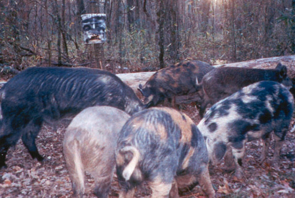Texas Wants To Poison Feral Hogs. Are There Really No Public Studies About Its Plans?