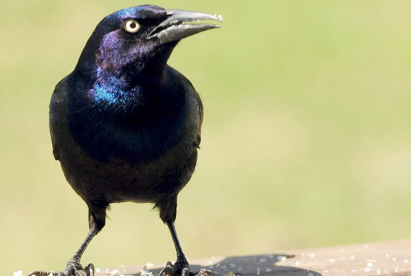 The War Against Grackles