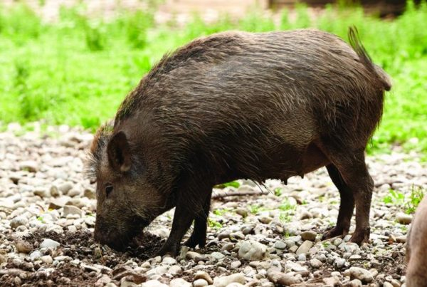 Hog-Tied: Why Bounty Hasn't Solved The Feral Hog Problem In Guadalupe County