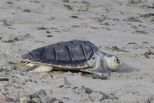 Galveston Scientists Release Rescued Kemp's Ridley Turtles
