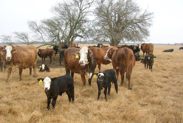south texas cattle