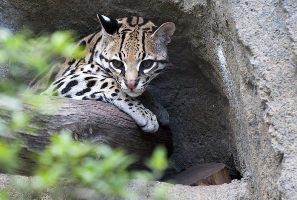 How Texas is Bringing the Ocelot Back