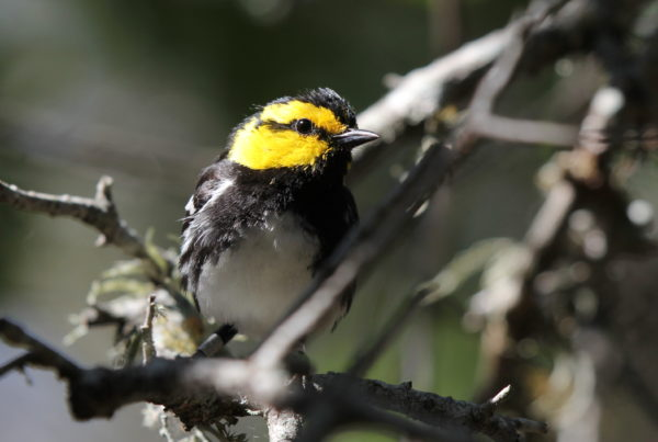 Land Office Sues to End Golden-Cheeked Warbler Protections