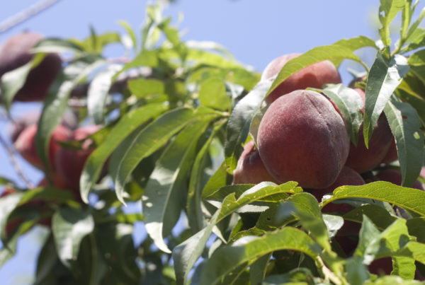 Central Texas Peach Crop Takes A Hit After Mild Winter