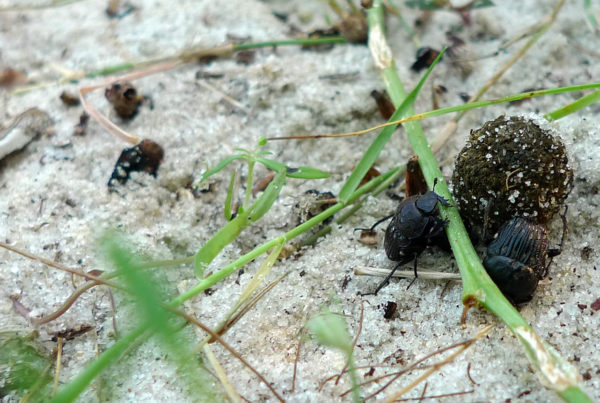 For The Dung Beetle, The Perfect Home Is A Pile of Poo