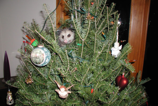 How A Possum Became One Man's Holiday Tradition