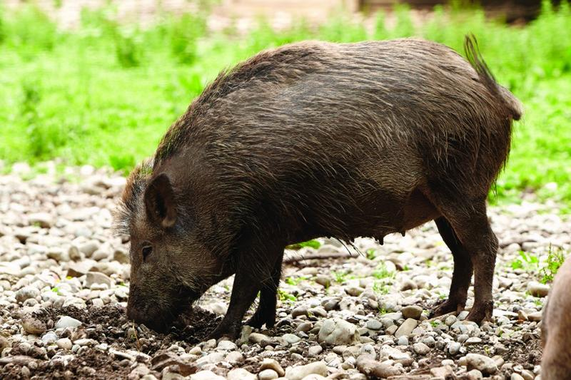 Hog Tied Why Bounty Hasn T Solved The Feral Hog Problem