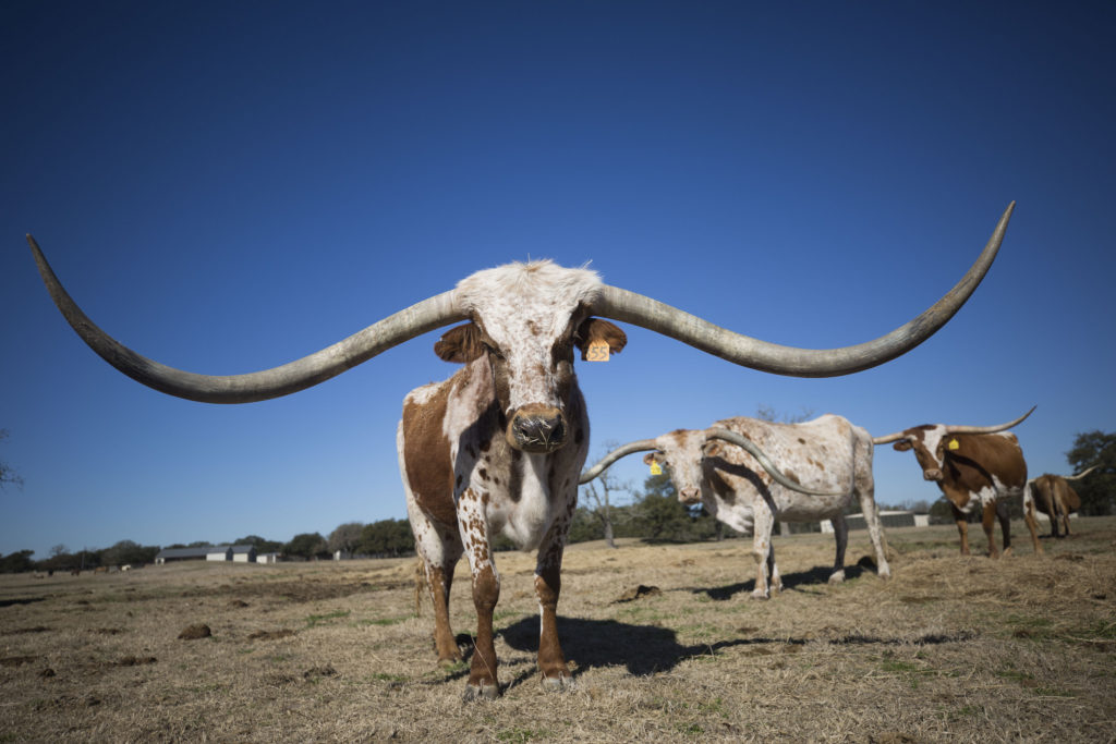 A 380 000 Longhorn Look At The Never Ending Race For Gest Horns In Texas Standard