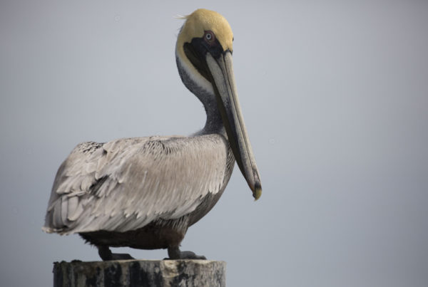 Pelicans Are Dying Along A South Texas Highway, But There May Be A Fix