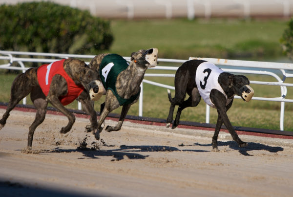 Injuries And Deaths Of Greyhounds At A Texas Track Spark Calls For Tougher Oversight