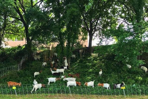 News Roundup: Waco Is Using Goats To Groom Tricky Terrain
