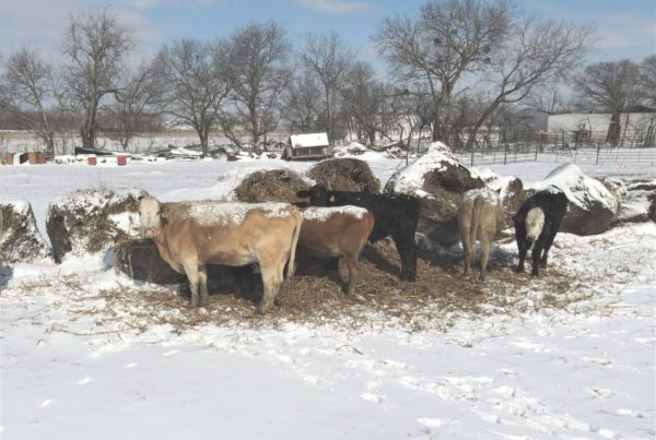 From Stuck Tractors To Dumped Milk, Snowstorm Throws Texas Farmers A 'Curveball'