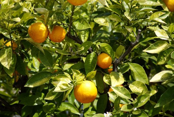 Texas Freeze Could Deal Fatal Blow To Smaller Rio Grande Valley Citrus Growers