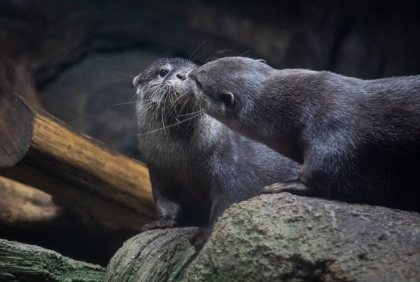 During The Winter Storm, The Austin Aquarium Went Dark And Cold. The Otters Snuggled For Warmth.
