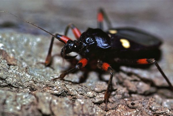 Assassin Bugs: Most Are Good For Your Garden, And They're Fun To Watch