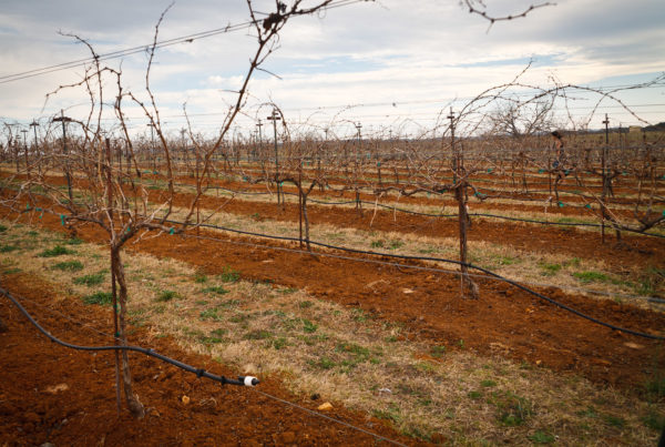 Texas Grape Growers Sue Over Dicamba Drift. They Say The Herbicide Damages Their Vines.