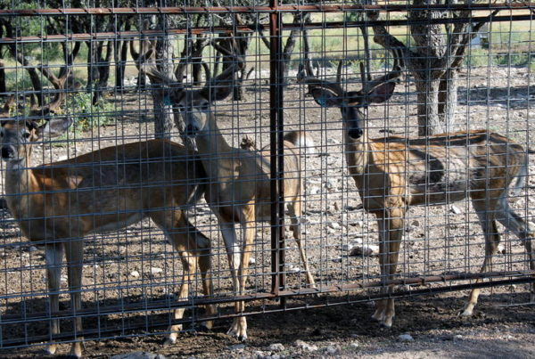 Texas Parks And Wildlife Issues Emergency Order For Chronic Wasting Disease In Deer